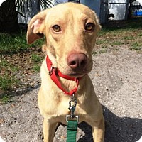 Adopt A Pet :: Shadow - Bradenton, FL