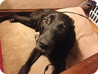 Labrador Retriever Mix Dog for adoption in Lewisville, Indiana - Abbie