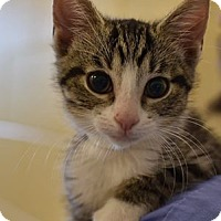 Adopt A Pet :: Bonbon-Outgoing Lovebug - Arlington, VA