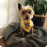 Adopt A Pet :: Zailey - Sinking Spring, PA