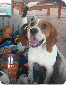 Beagle Mix Dog for adoption in Dallas, Texas - SHILOH