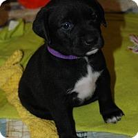 Adopt A Pet :: Virginia Woolf - Hanover, PA