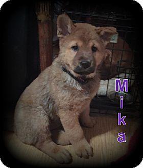 Chow Chow/German Shepherd Dog Mix Puppy for adoption in Denver, North Carolina - Mika