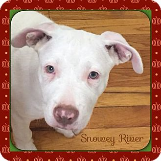 American Pit Bull Terrier Mix Puppy for adoption in Warren, Michigan - Snowy River