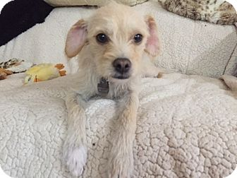 Terrier (Unknown Type, Small) Mix Dog for adoption in pasadena, California - OLIVE