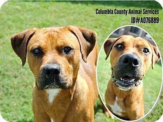 Labrador Retriever Mix Dog for adoption in Grovetown, Georgia - A076889