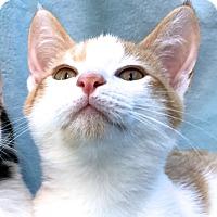 Adopt A Pet :: Flynn - La Jolla, CA