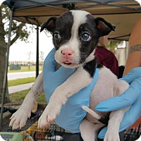 Adopt A Pet :: Alexandria - Royal Palm Beach, FL