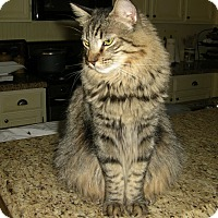 Maine Coon Cat for adoption in Palmdale, California - Hannah