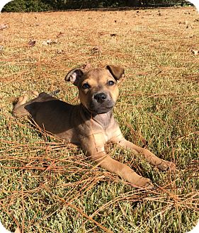Boxer Mix Puppy for adoption in Plainfield, Connecticut - Brienne