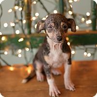 Adopt A Pet :: Kiley - San Antonio, TX
