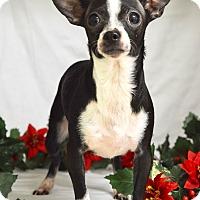 Adopt A Pet :: Prancer - Dublin, CA