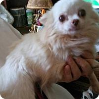 Adopt A Pet :: CLOVER - Anderson, SC