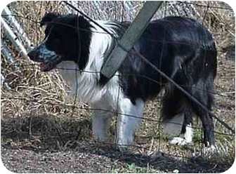 Border Collie Dog for adoption in Tiffin, Ohio - Tonto