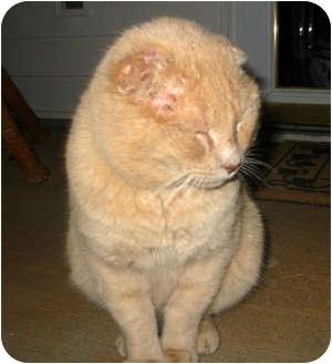 Domestic Shorthair Cat for adoption in Harrisburg, North Carolina - Sylvester
