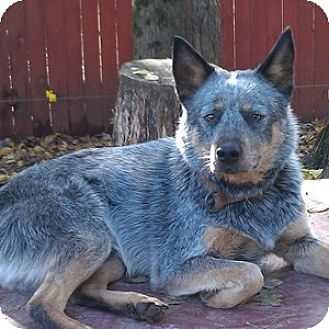 Australian Cattle Dog Dog for adoption in Remus, Michigan - Napoleon is Deaf (ETS Eligible)