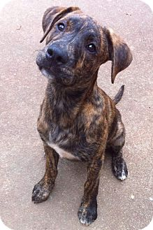 Boxer/Labrador Retriever Mix Puppy for adoption in Nashville, Tennessee - Baxter