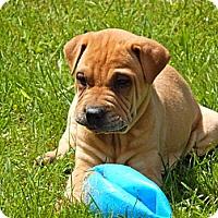 Adopt A Pet :: Henri - Newport, VT