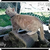 Domestic Shorthair Cat for adoption in Fort Worth, Texas - Reilly