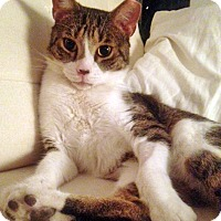 Adopt A Pet :: Mr. Bojangles, AKA Bo - Brooklyn, NY