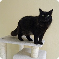 Domestic Longhair Cat for adoption in Jupiter, Florida - Char