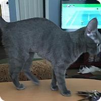 Adopt A Pet :: Baby Blue - McKinney, TX