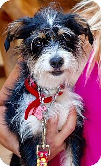 Jack Russell Terrier/Terrier (Unknown Type, Small) Mix Dog for adoption in San Pedro, California - Katie