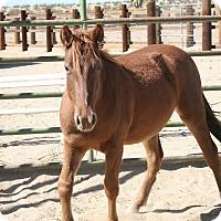 Adopt A Pet :: Zuma - Lancaster, CA