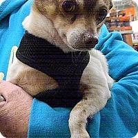 Adopt A Pet :: Shorty - Jacksonville, NC