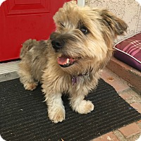 Havanese/Lhasa Apso Mix Dog for adoption in Redondo Beach, California - Cody