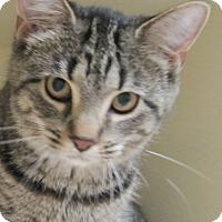 Domestic Shorthair Cat for adoption in Gaylord, Michigan - Sasha