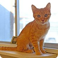 Adopt A Pet :: Gizmo - Gardnerville, NV