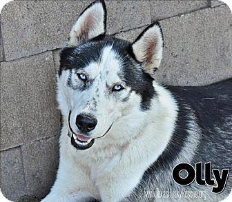 Siberian Husky Dog for adoption in Carrollton, Texas - Olly