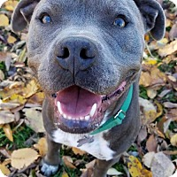 Adopt A Pet :: Wyatt - Livonia, MI