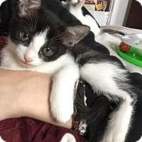 Domestic Shorthair Kitten for adoption in Mission Viejo, California - Salem