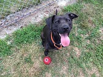 Labrador Retriever/Pit Bull Terrier Mix Puppy for adoption in Salem, Ohio - Sasha