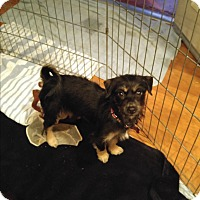 Fox Terrier (Wirehaired)/Cairn Terrier Mix Puppy for adoption in LAKEWOOD, California - Stella