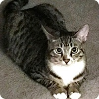 Domestic Shorthair Cat for adoption in Castro Valley, California - Gigi