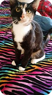 Domestic Shorthair Kitten for adoption in Virginia Beach, Virginia - Kayla