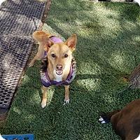 Adopt A Pet :: Hazel - Las Vegas, NV