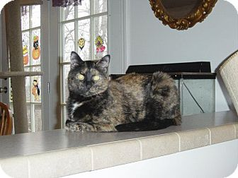 Domestic Shorthair Cat for adoption in Bedford, Virginia - Freckles