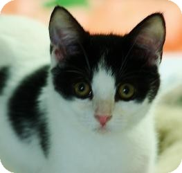 Domestic Shorthair Cat for adoption in Mission Viejo, California - Lacy