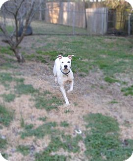 ... Dog | Chattanooga, TN | Great Dane/Staffordshire Bull Terrier Mix