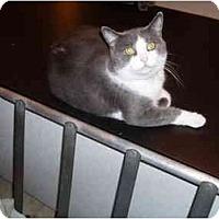 Adopt A Pet :: Chinquo - Hamburg, NY