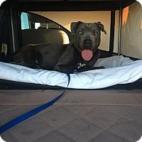 Adopt A Pet :: Hayly - Las Vegas, NV