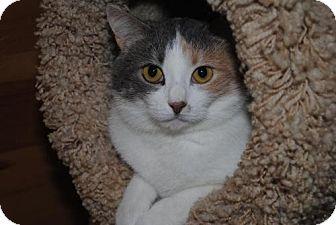 Calico Cat for adoption in Waxhaw, North Carolina - Panini