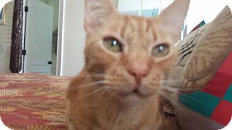 Domestic Shorthair Cat for adoption in Summerville, South Carolina - Oliver Rhett