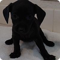 Adopt A Pet :: MINI - Corona, CA