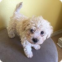 Adopt A Pet :: AMBROSIA, FREESIA, MOJO, TULIP - Los Angeles, CA