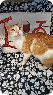 Domestic Shorthair Cat for adoption in Houston, Texas - TALLULAH